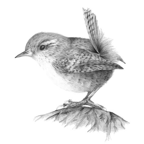 English Wren #pencil #drawing #birds | Birds | Pinterest ...