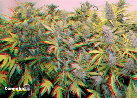 Entrar en 3D | Marihuana | Uncategorised