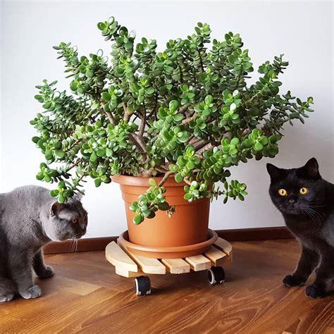¿Es la planta Jade venenosa para perros y gatos ...