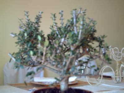 ¿Es un acebuche o un olivo?