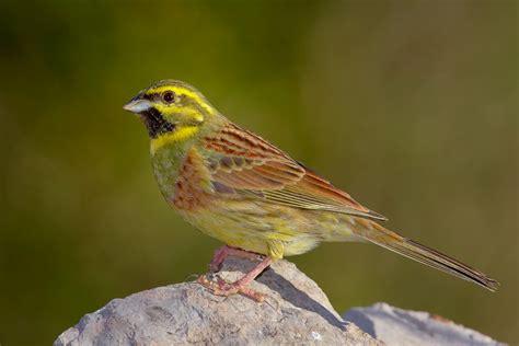 Escribano Soteño - Escucha la voz del pájaro