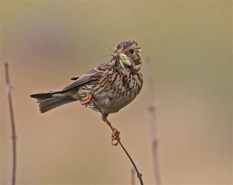 Escribano Triguero   Escucha la voz del pájaro