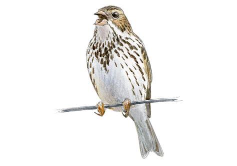 Escribano triguero | SEO/BirdLife