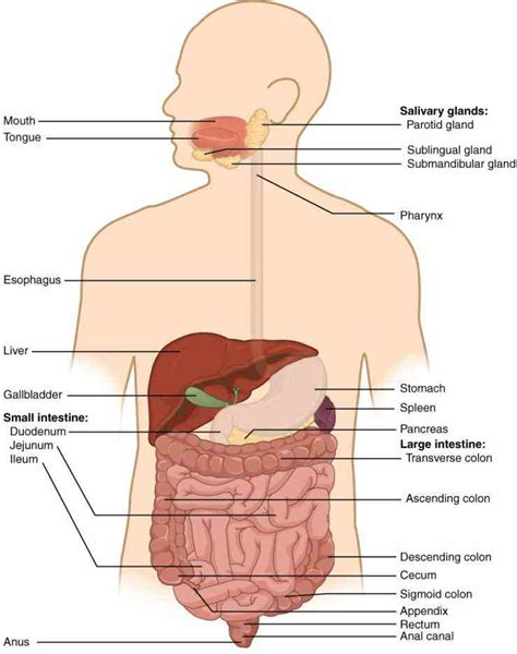 Esophagus Function In The Digestive System   MedicineBTG.com