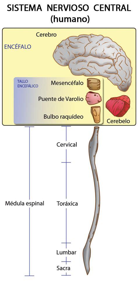 ESPECIALIDAD DE ENFERMERIA: Sitema nervioso