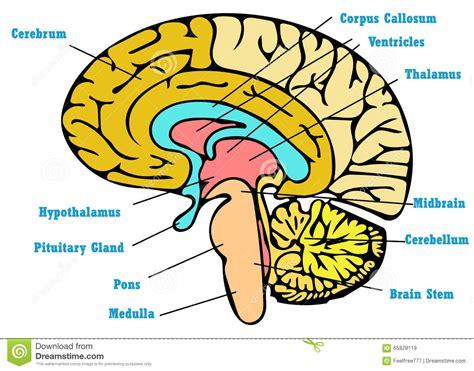 Esquema Da Anatomia Do Cérebro Ilustração Stock - Imagem ...