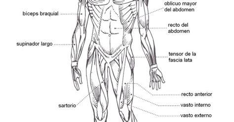 Esquema de sistema muscular con los nombres de sus partes ...
