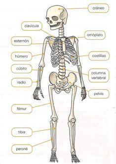 Esquema del sistema muscular humano. Sin los nombres de ...