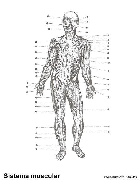 Esquema del sistema muscular. Sin nombres de sus partes ...