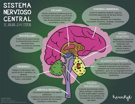 Esquema del sistema nervioso central y sus partes, cuales ...