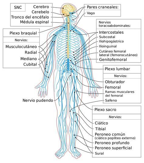 Esquema del Sistema Nervioso humano – Curiosoando
