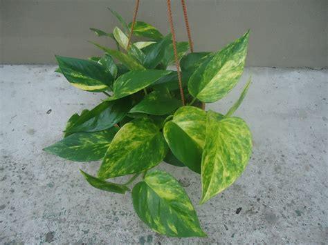 Esta planta fue recomendada por la NASA como purificador ...