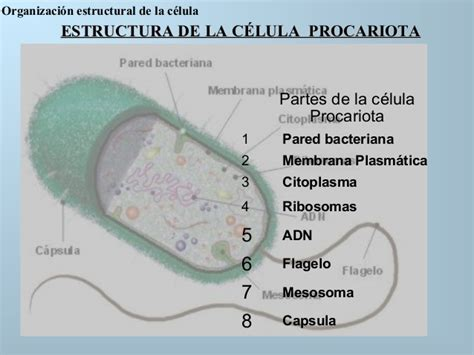 Esta si es la celula y sus componentes.