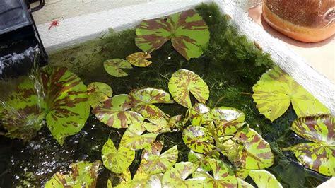 Estanque de peces con plantas acuáticas   YouTube