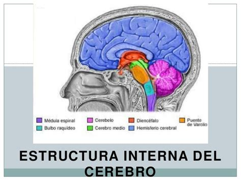 Estructura del cerebro 3
