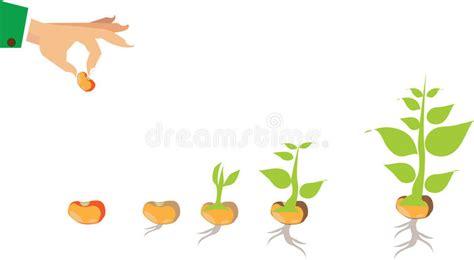 Etapas Del Crecimiento De La Planta Y De La Semilla Al ...