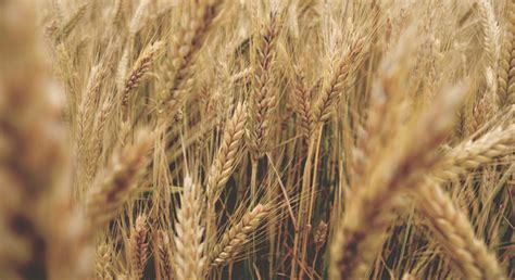 EU wheat prices buoyed by US rally, export concerns ...