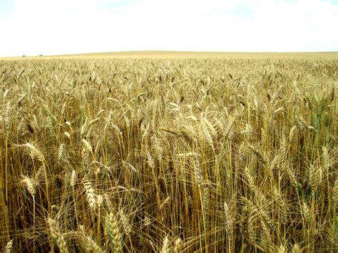 EU wheat prices rise to 182,75 EUR/tonne as rains raise ...