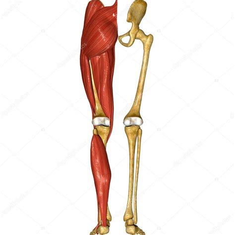 Excepcional Músculos De La Pierna Ilustración - Anatomía ...