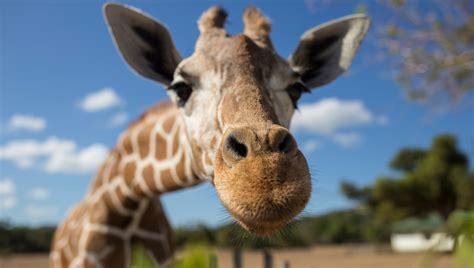 Existem quatro espécies de girafa – e não uma só ...