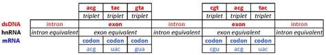 Exons, Introns & Codons