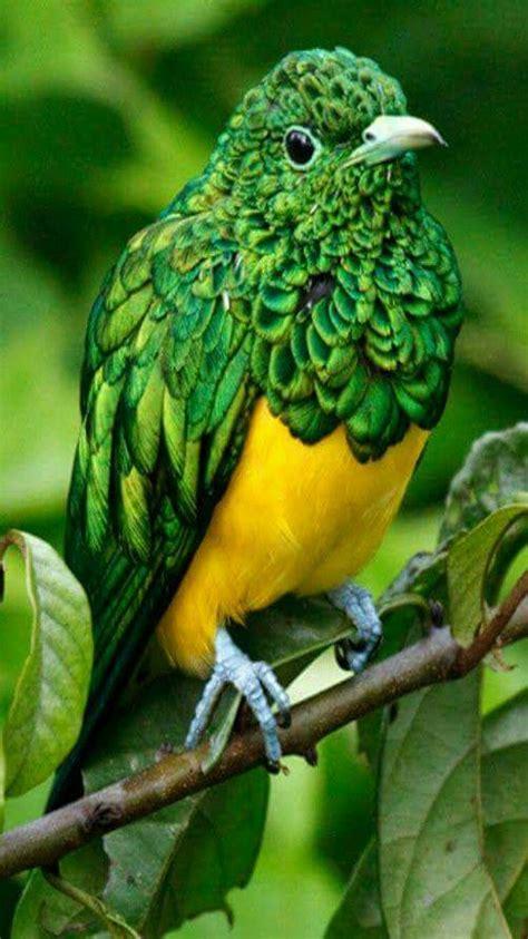 Exotic birds - Gorgeous African Emerald Cuckoo bird. This ...