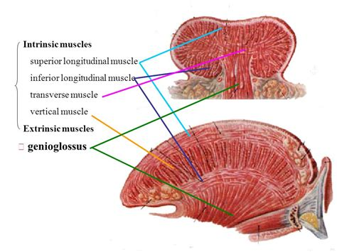 Extrinsic Muscles Of The Tongue - Anatomy
