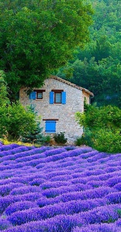 Exuberante campo de lavanda en la Provenza, Francia ...