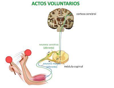 F  Funcionamiento del sistema nervioso   COORDINACIÓN Y ...