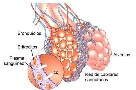 Factor Surfactante y su función pulmonar   Cerebromedico