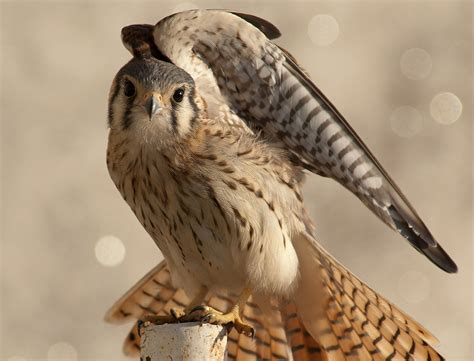 Falco sparverius - Wikipedia, la enciclopedia libre