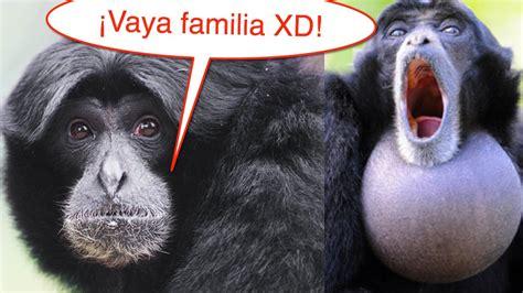 Familia de monos gritones. MUY DIVERTIDO   YouTube
