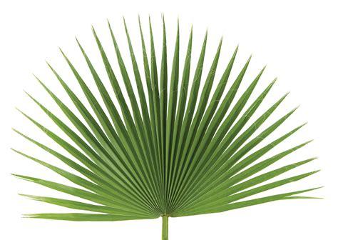 Fan Palms - The Paraclete Catholic Bookstore