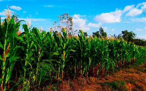 FAO pronostica una cosecha favorable de maíz en América ...