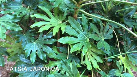 Fatsia japonica. Garden Center online Costa Brava   Girona ...