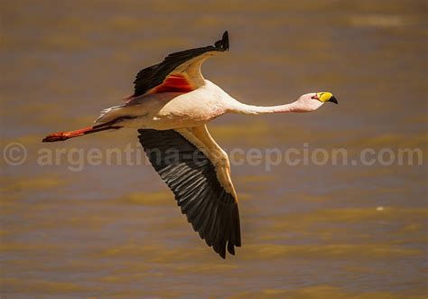 Fauna aviaria de Argentina: los aves del Altiplano