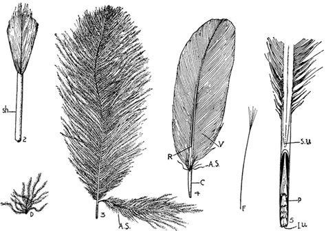 Feather Types | ClipArt ETC