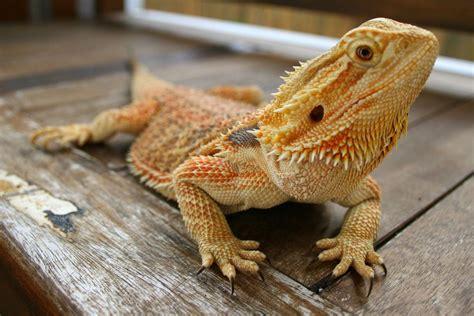 Female bearded Dragon for sale .   Bradford, West ...