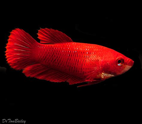 Female Betta Fish for Sale   AquariumFish.net