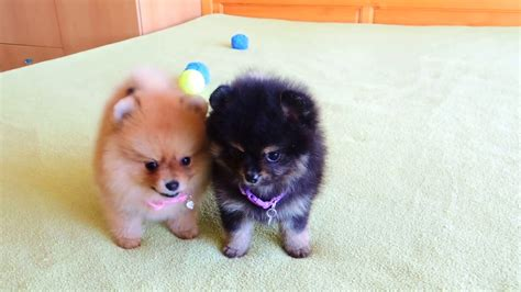 Female Pomeranian Puppies for Sale   YouTube