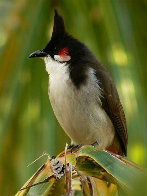 Ficheru:Mauritius Rotohrbülbül.jpg - Wikipedia