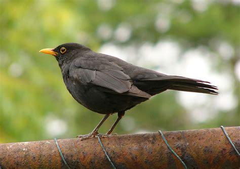 File:Blackbird 2.jpg - Wikipedia