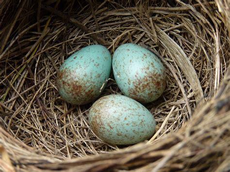 File:Blackbird nest with 4 eggs.jpg - Wikipedia