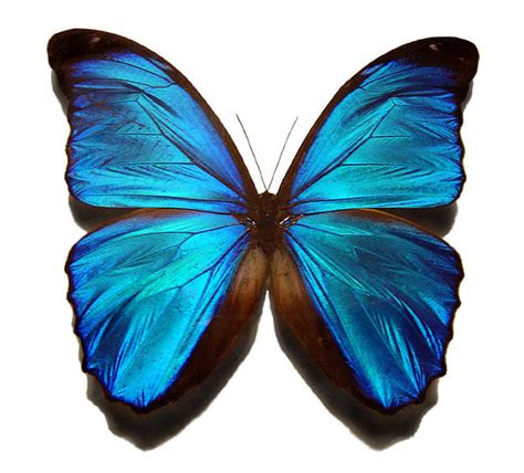 File:Blue morpho butterfly.jpg - Wikipedia