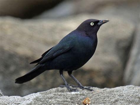 File:Brewer's Blackbird male RWD4.jpg - Wikimedia Commons