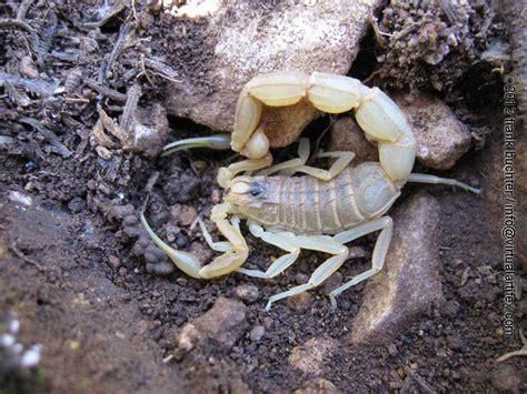 File:Buthus occitanus wiki.jpg   Wikimedia Commons