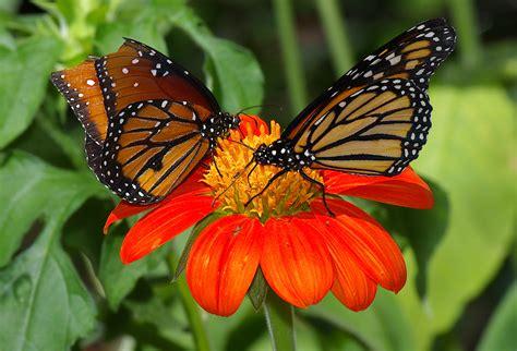 File:Butterflies UFmuseum.jpg - Wikimedia Commons