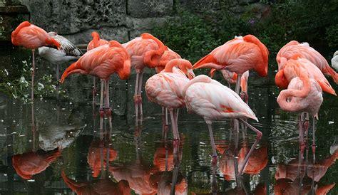 File:Caribbean Flamingo1  Phoenicopterus ruber   0421 ...