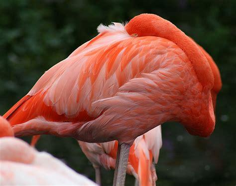 File:Caribbean Flamingo2  Phoenicopterus ruber   0424 ...