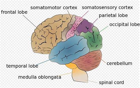 File:Cerebro partes.jpg - Wikimedia Commons